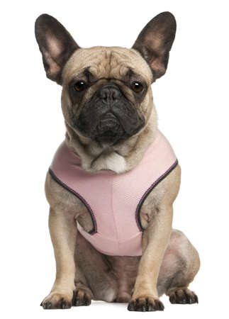 French bulldog wearing pink, 18 months old, sitting in front of white background photo