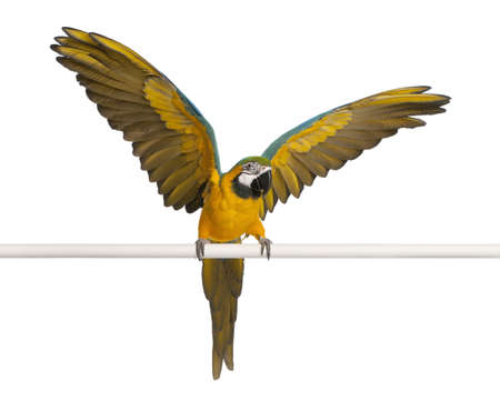 flapping: Blue and Yellow Macaw, Ara Ararauna, perched and flapping wings in front of white background