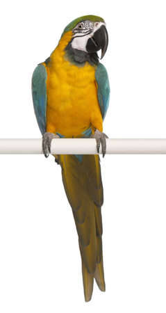 pappagallo: Blu e giallo Ara, Ara Ararauna, arroccato su palo davanti a sfondo bianco Archivio Fotografico