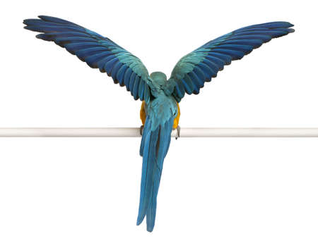 flapping: Rear view of Blue and Yellow Macaw, Ara Ararauna, perched and flapping wings in front of white background Stock Photo