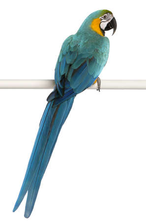 blue parrot: Blue and Yellow Macaw, Ara Ararauna, perched on pole in front of white background Stock Photo