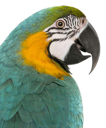 Close-up of Blue and Yellow Macaw, Ara Ararauna, in front of white background photo