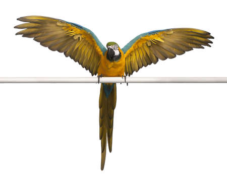 Blue and Yellow Macaw, Ara Ararauna, perched and flapping wings in front of white background photo