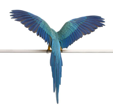 shot from behind: Rear view of Blue and Yellow Macaw, Ara Ararauna, perched and flapping wings in front of white background Stock Photo