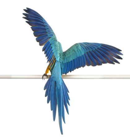 Achteraanzicht van blauw en geel Ara, Ara Ararauna, neergestreken en fladderende vleugels voor witte achtergrond