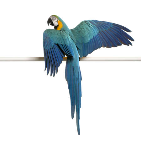 Blue and Yellow Macaw, Ara Ararauna, perched on pole in front of white background photo