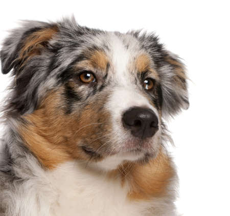 Close-up of Australian Shepherd dog, 6 months old, in front of white background Stock Photo - 8651299