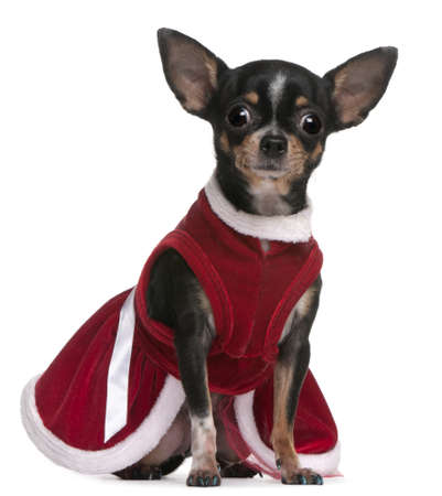 Chihuahua, 4 months old, dressed in Santa dress, sitting in front of white background photo