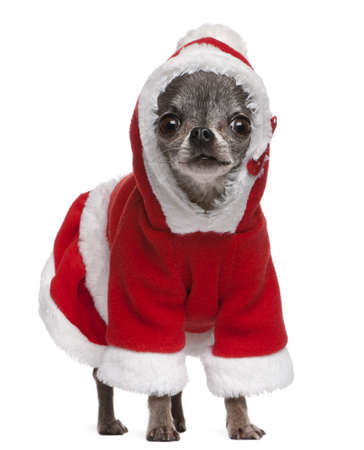 Chihuahua in Santa outfit, 7 years old, standing in front of white background photo
