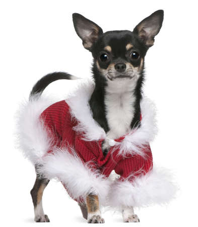 Chihuahua in Santa outfit, 7 months old, standing in front of white background photo