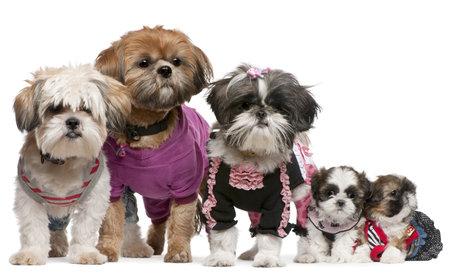 perros vestidos: Retrato de Shih Tzus vestidos de fondo blanco Foto de archivo
