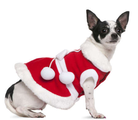 Chihuahua, 2 years old, dressed in Santa outfit, sitting in front of white background photo