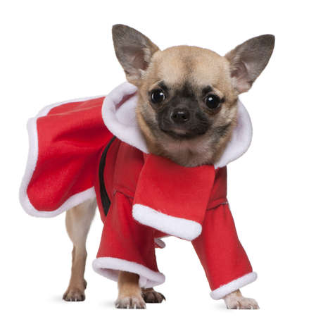 Chihuahua, 11 months old, in Santa outfit, standing in front of white background photo
