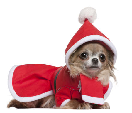 Chihuahua, 11 months old, in Santa outfit, lying in front of white background photo