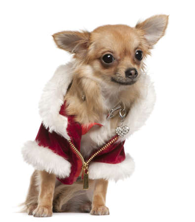 Chihuahua, 9 months old, in Santa coat, sitting in front of white background photo