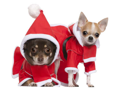 Chihuahuas dressed in Santa outfits for Christmas in front of white background photo