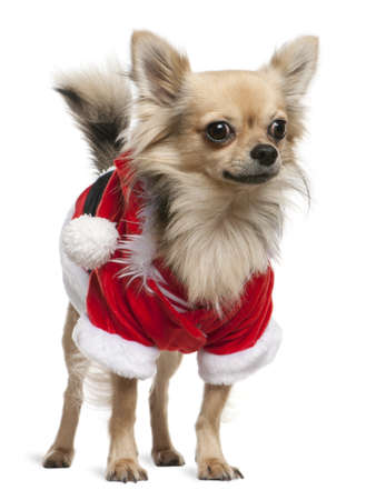 Chihuahua dressed in Santa outfit, 2 years old, standing in front of white background photo
