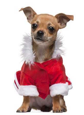 Chihuahua puppy dressed in Santa outfit, 6 months old, sitting in front of white background photo