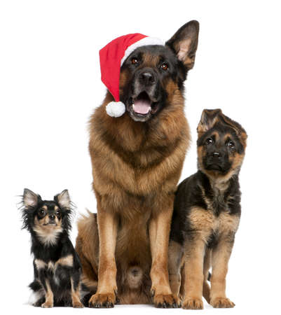 Chihuahua and German Shepherds with Santa hat sitting in front of white background photo