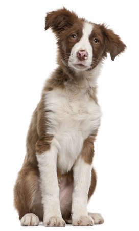 border collie puppy: Border Collie puppy, 5 months old, sitting in front of white background Stock Photo