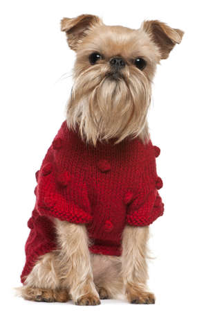 half dressed: Griffon Bruxellois in red sweater, 3 and a half years old, sitting in front of white background Stock Photo
