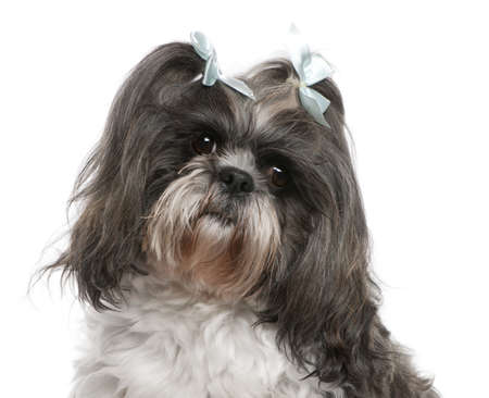 shih: Shih Tzu with blue bows in hair, 4 years old, in front of white background