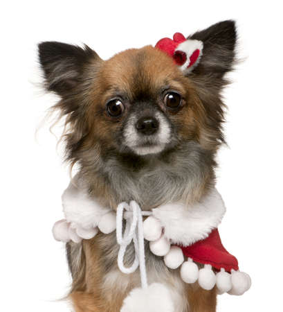 Chihuahua dressed in Santa outfit, 2 years old, in front of white background photo