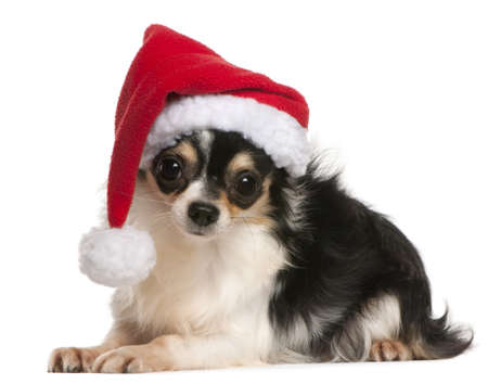Chihuahua wearing Santa hat, 18 months old, lying in front of white background photo