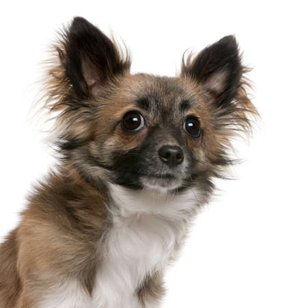 Close-up of Chihuahua, 1 year old, in front of white background Stock Photo - 8651282