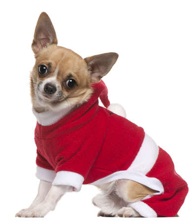 Chihuahua dressed in Santa outfit, 11 months old, sitting in front of white background Stock Photo - 8649885