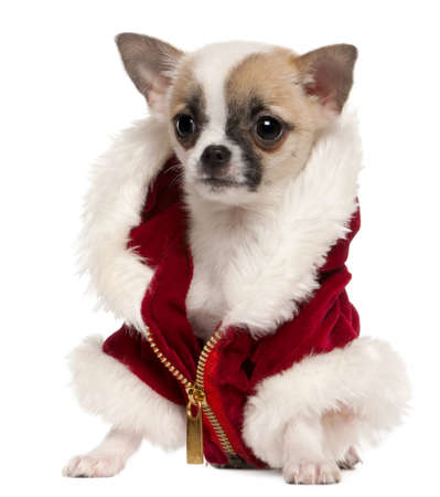 chihuahua 3 months old: Chihuahua puppy wearing Santa coat, 3 months old, sitting in front of white background Stock Photo