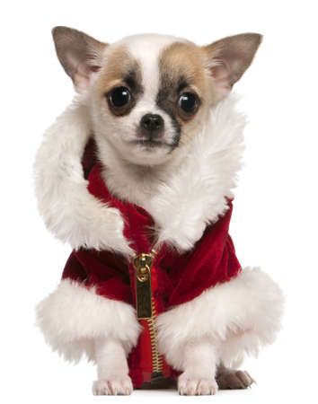 Chihuahua puppy wearing Santa coat, 3 months old, sitting in front of white background Stock Photo - 8652526
