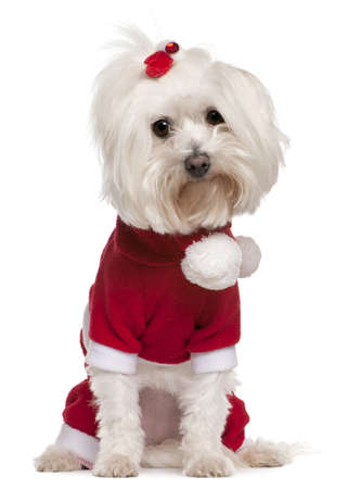 maltese dog: Maltese wearing Santa outfit, 4 years old, sitting in front of white background Stock Photo