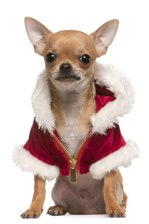 Chihuahua puppy wearing Santa coat, 6 months old, sitting in front of white background photo