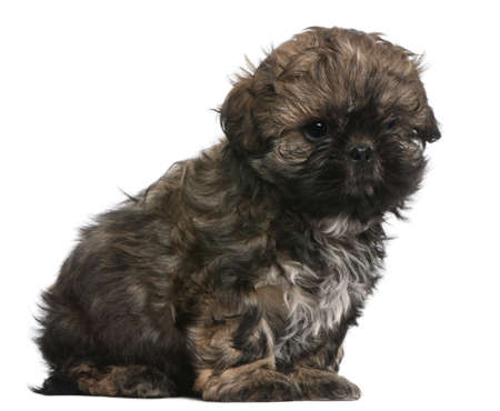 Shih Tzu puppy, 8 weeks old, sitting in front of white background Stock Photo - 8651818