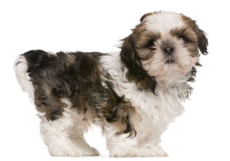 Shih Tzu puppy, 9 weeks old, standing in front of white background Stock Photo - 8651675