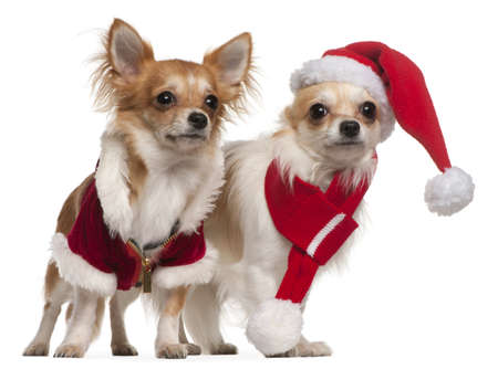 chihuahua pup: Chihuahuas dressed in Santa outfits for Christmas in front of white background