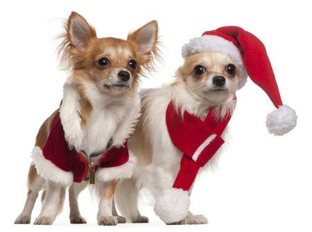 perros vestidos: Chihuahueños vestidas con trajes de Santa para la Navidad de fondo blanco