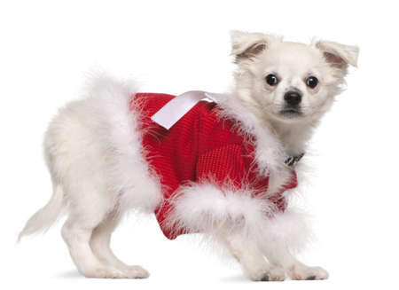 Chihuahua in red sweater, 17 months old, standing in front of white background Stock Photo - 8652455