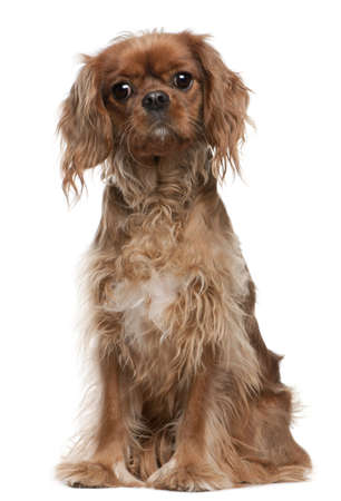 Cavalier King Charles Spaniel, 18 months old, sitting in front of white background photo