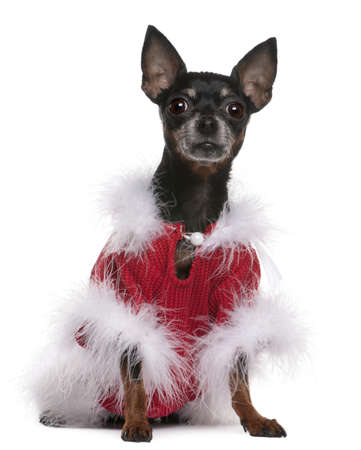 Chihuahua in red sweater with fur, 7 years old, sitting in front of white background Stock Photo