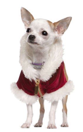 Chihuahua wearing Santa coat and collar, 8 months old, standing in front of white background photo