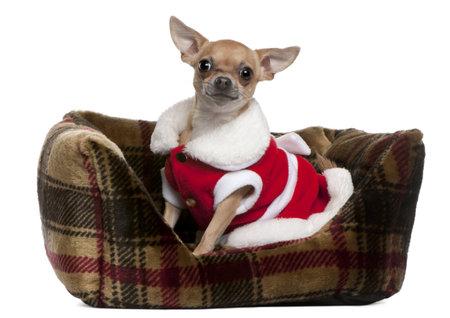 perros vestidos: Chihuahua vistiendo traje de Santa, 25 meses de edad, sentado en la cama doggie de fondo blanco Foto de archivo