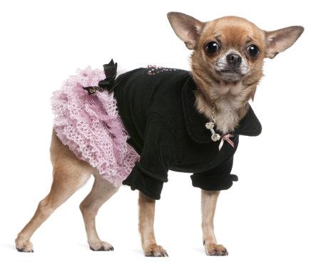 チワワ服を着てピンクと黒、2 歳、白い背景の前に立って