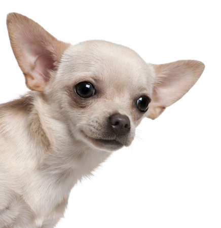 Close-up of Chihuahua, 8 months old, in front of white background photo