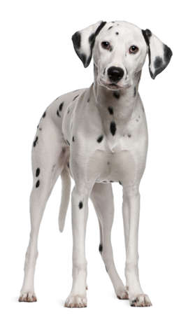 dalmatier: Dalmatische, 18 maanden oud, permanent voor witte achtergrond
