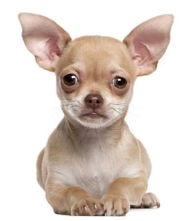 Chihuahua puppy, 2 months old, lying in front of white background Stock Photo - 8645219