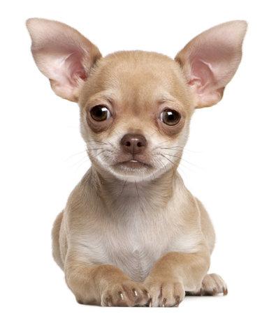 cane chihuahua: Cucciolo di Chihuahua, 2 mesi di et�, che giace davanti a fondo bianco