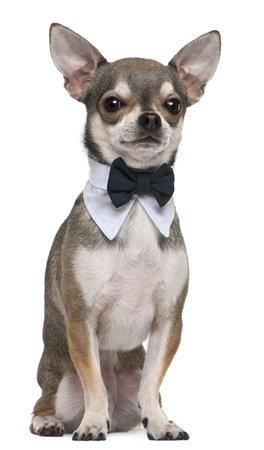 perros vestidos: Chihuahua con pajarita, 3 a�os de edad, sentado frente a fondo blanco