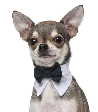 perros vestidos: Chihuahua vistiendo la pajarita, 3 a�os de edad, de fondo blanco Foto de archivo